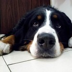 Bernese Mountain Dog, called in German Berner Sennenhund.