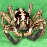 Jumping spider in rest position.