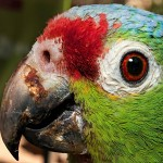 Amazon red lored parrot.