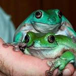 White's Tree Frog , mother and daughter