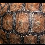 Close up sur une carapace de tortue. תבנית צבית