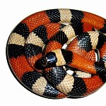 Milksnake- red to black, venom lack.
