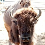 Bison bison. The furious bison's eyes.