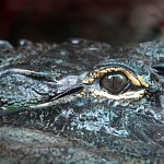 Crocodile's eye.